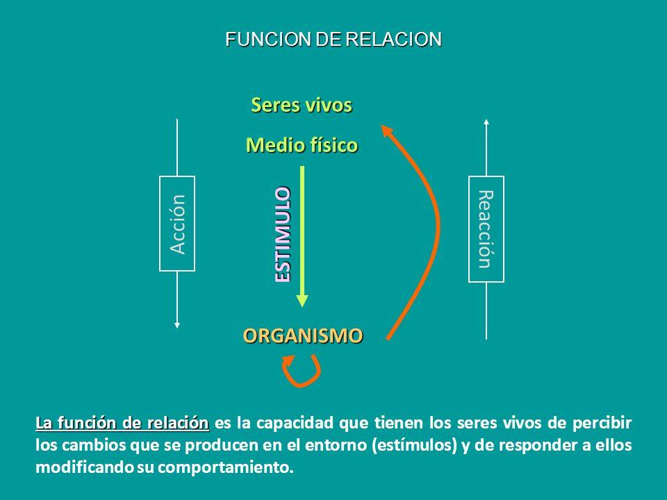 FUNCION DE RELACION ESTIMULO ORGANISMO Seres vivos Medio físico Acción Reacción La función de relación La función de relación es la capacidad que tien