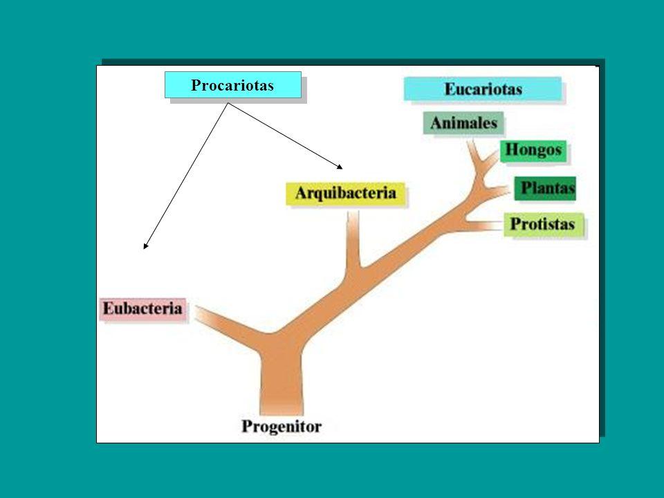 PROCARIOTAS Los organismos procariotas pertenecen a los Dominios Archaeobacteria y Eubacteria En el sistema de clasificación anterior estos organismos se incluían en el Reino Moneras.