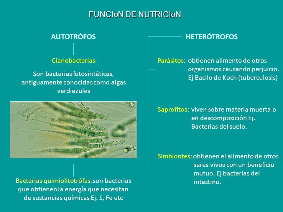 FUNCIoN DE NUTRICIoN AUTOTRÓFOSHETERÓTROFOS Cianobacterias Son bacterias fotosintéticas, antiguamente conocidas como algas verdiazules Parásitos: obti