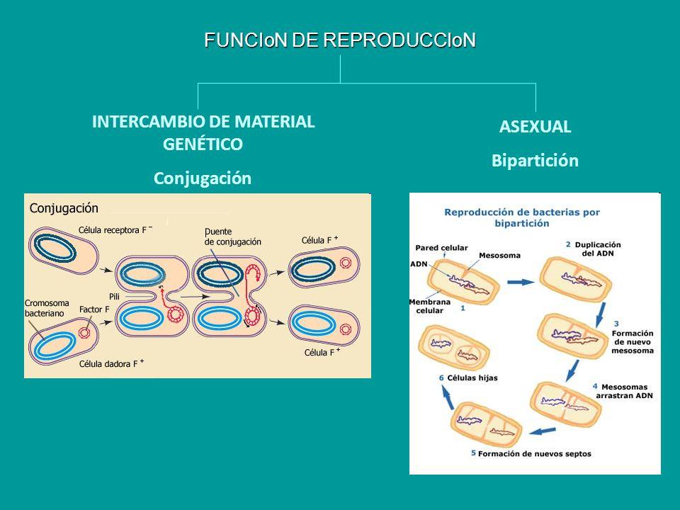 FUNCIoN DE REPRODUCCIoN INTERCAMBIO DE MATERIAL GENÉTICO Conjugación ASEXUAL Bipartición