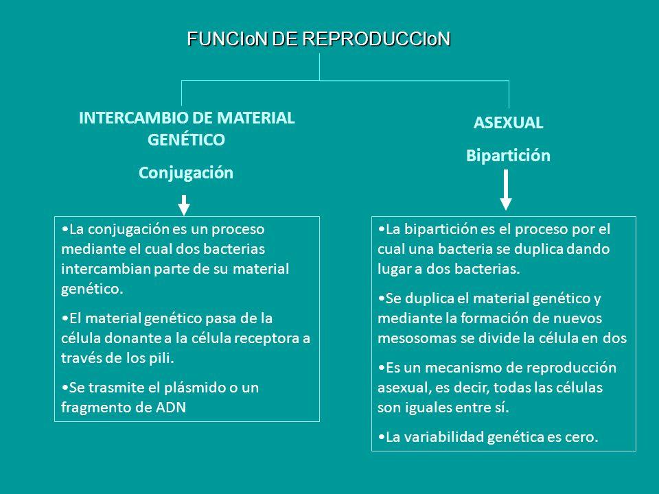 FUNCIoN DE REPRODUCCIoN INTERCAMBIO DE MATERIAL GENÉTICO Conjugación ASEXUAL Bipartición La conjugación es un proceso mediante el cual dos bacterias i