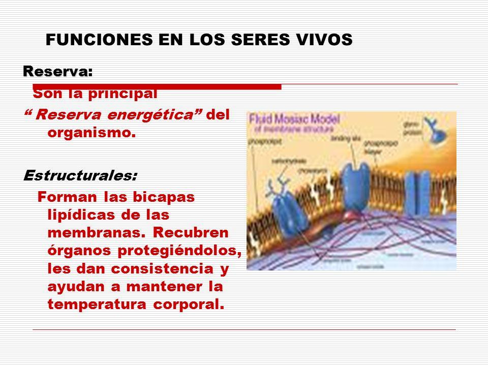 FUNCIONES EN LOS SERES VIVOS Reserva Reserva: Son la principal Reserva energética del organismo. Estructurales: Forman las bicapas lipídicas de las me