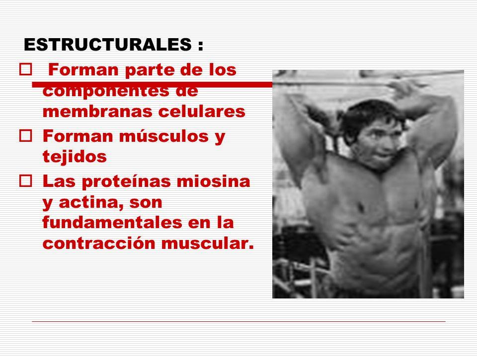 ESTRUCTURALES : Forman parte de los componentes de membranas celulares Forman músculos y tejidos Las proteínas miosina y actina, son fundamentales en
