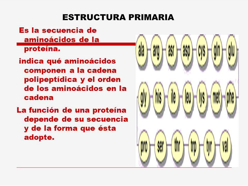 ESTRUCTURA PRIMARIA Es la secuencia de aminoácidos de la proteína. indica qué aminoácidos componen a la cadena polipeptídica y el orden de los aminoác
