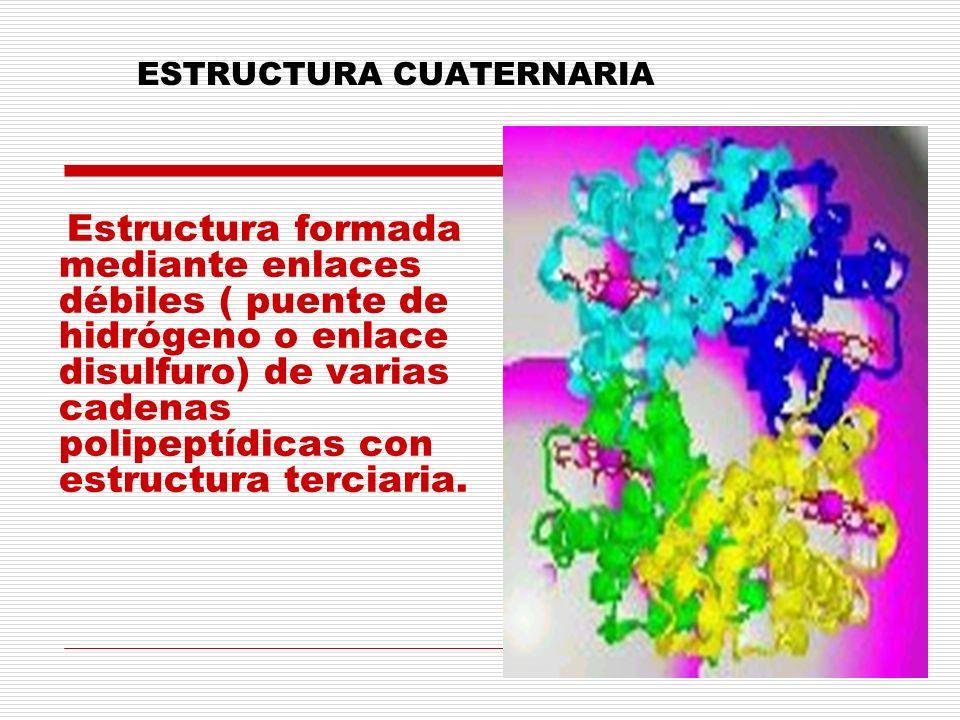 ESTRUCTURA CUATERNARIA Estructura formada mediante enlaces débiles ( puente de hidrógeno o enlace disulfuro) de varias cadenas polipeptídicas con estr