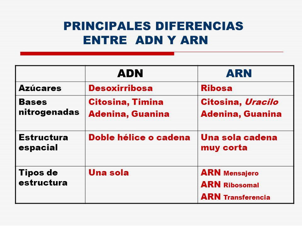 PRINCIPALES DIFERENCIAS ENTRE ADN Y ARN ADN ARN AzúcaresDesoxirribosaRibosa Bases nitrogenadas Citosina, Timina Adenina, Guanina Citosina, Uracilo Ade