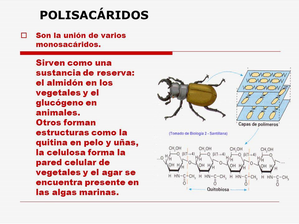 Son la unión de varios monosacáridos. Sirven como una sustancia de reserva: el almidón en los vegetales y el glucógeno en animales. Otros forman estru