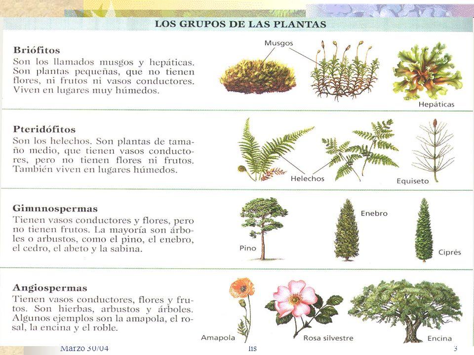 Marzo 30/04 lis 33 Regiones de crecimiento de una raíz dicotiledónea