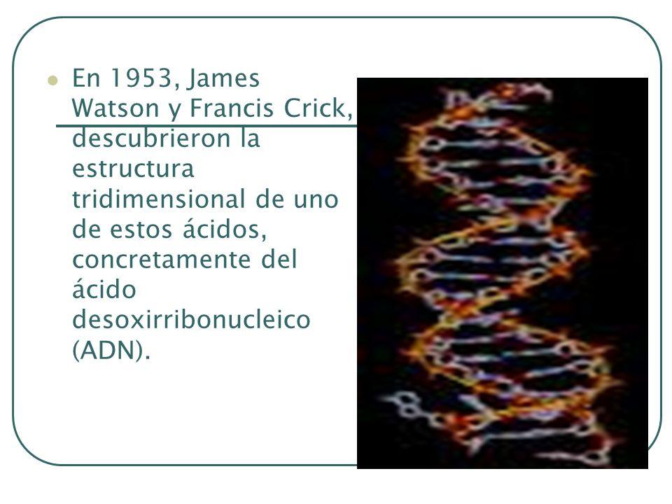 En 1953, James Watson y Francis Crick, descubrieron la estructura tridimensional de uno de estos ácidos, concretamente del ácido desoxirribonucleico (
