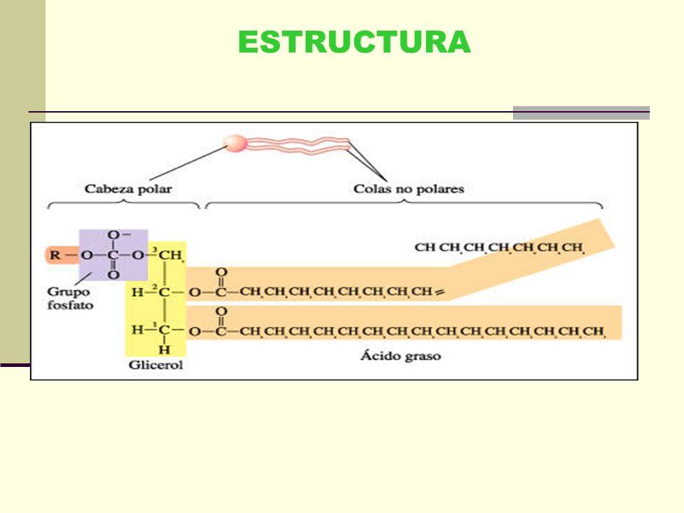 Lípidos Macromoléculas orgánicas que contienen carbono e hidrógeno y oxígeno. Pueden contener también fósforo, nitrógeno y azufre. Químicamente son co