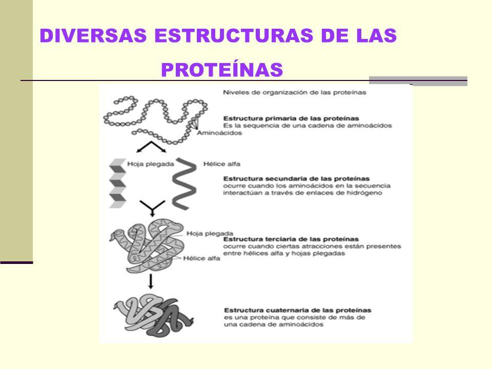 Una proteína puede presentar hasta cuatro niveles estructurales: estructura primaria estructura secundaria estructura terciaria estructura cuaternaria