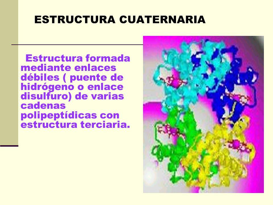 Es la disposición de la estructura secundaria de un polipéptido al plegarse sobre sí misma originando una conformación globular. ESTRUCTURA TERCIARIA