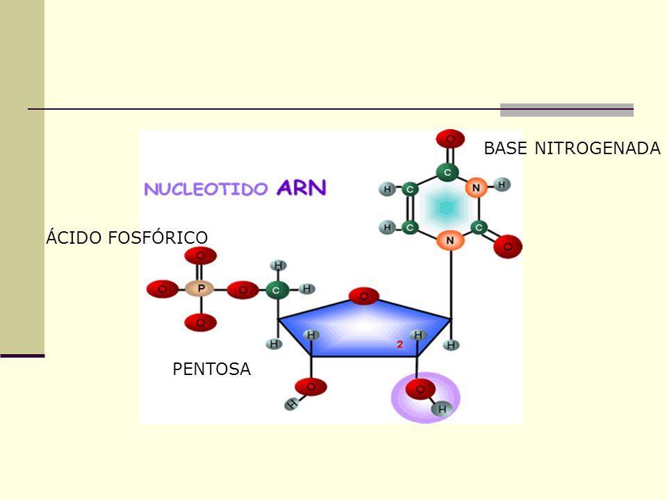 Los nucleótidos están formados por la unión de: Una pentosa, que puede ser : Ribosa en el ARN o Desoxirribosa en el ADN Una base nitrogenada, que pued