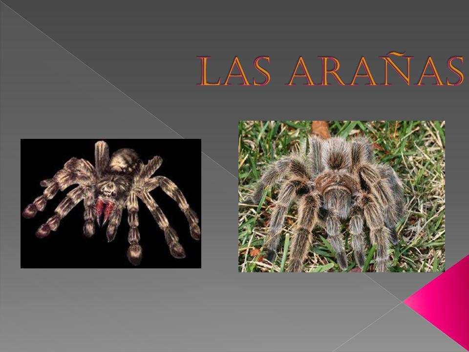 Introducción Hay más de 30,000 tipos de arañas que conocen los científicos.