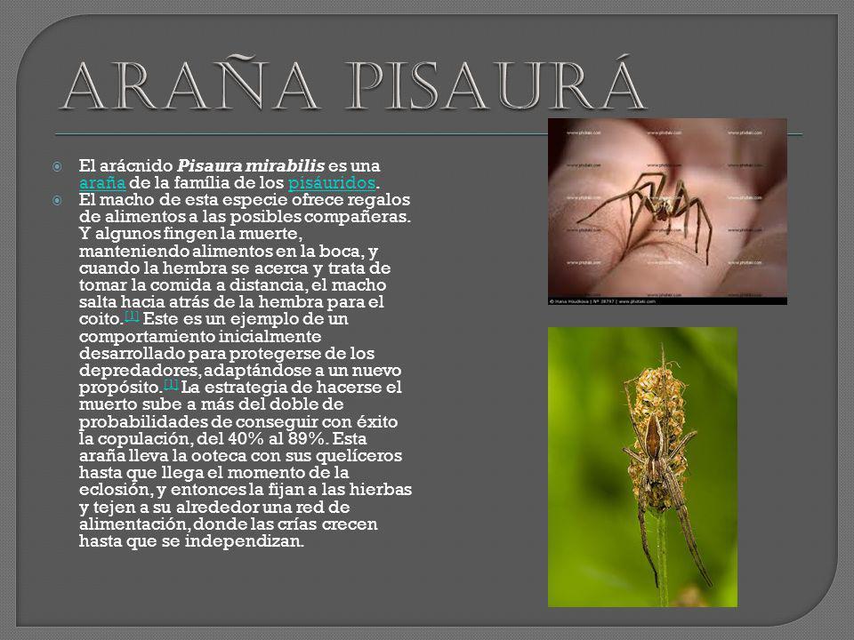 El arácnido Pisaura mirabilis es una araña de la família de los pisáuridos. arañapisáuridos El macho de esta especie ofrece regalos de alimentos a las