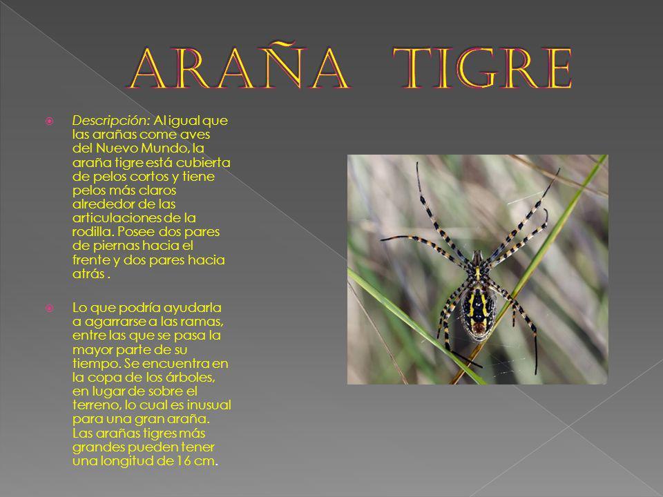 Descripción: Al igual que las arañas come aves del Nuevo Mundo, la araña tigre está cubierta de pelos cortos y tiene pelos más claros alrededor de las
