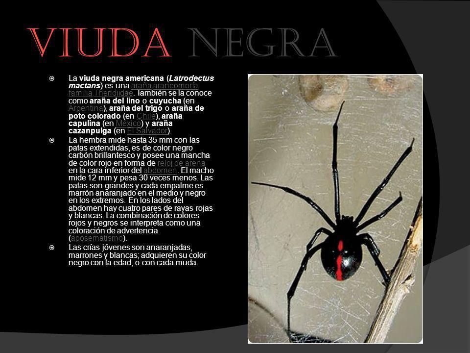 Viuda negra La viuda negra americana (Latrodectus mactans) es una araña araneomorfa familia Theridiidae. También se la conoce como araña del lino o cu