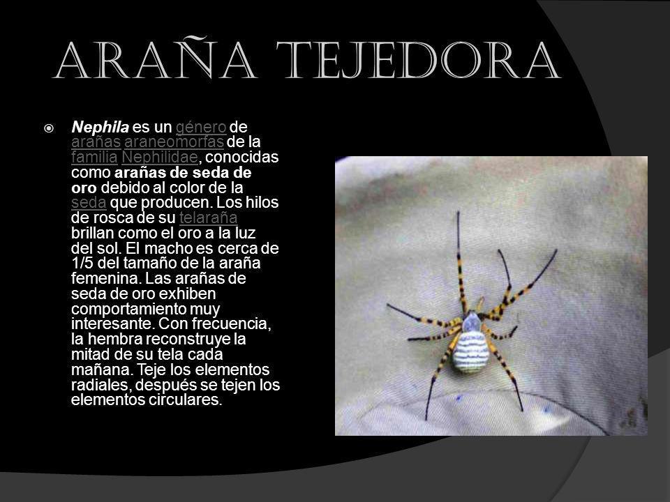 Araña tejedora Nephila es un género de arañas araneomorfas de la familia Nephilidae, conocidas como arañas de seda de oro debido al color de la seda q