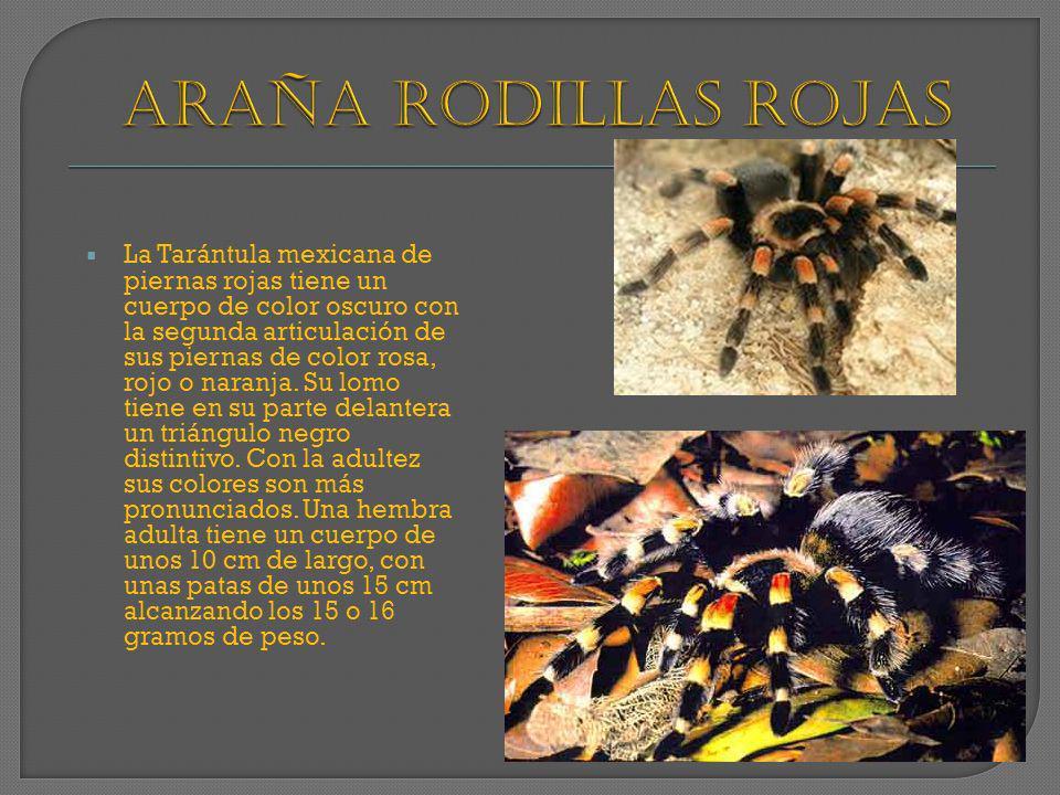 La Tarántula mexicana de piernas rojas tiene un cuerpo de color oscuro con la segunda articulación de sus piernas de color rosa, rojo o naranja. Su lo