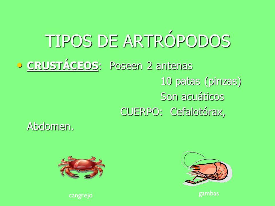 TIPOS DE ARTRÓPODOS ARÁCNIDOS: Poseen 8 patas ARÁCNIDOS: Poseen 8 patas No tienen antenas No tienen antenas CUERPO: Cefalotórax, abdomen CUERPO: Cefal