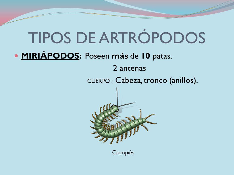 TIPOS DE ARTRÓPODOS CRUSTÁCEOS: Poseen 2 antenas 10 patas (pinzas) Son acuáticos CUERPO : Cefalotórax, Abdomen. cangrejo gambas