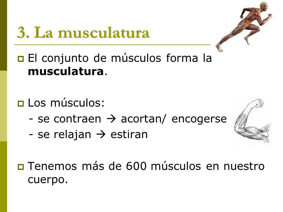 3. La musculatura El conjunto de músculos forma la musculatura. Los músculos: - se contraen acortan/ encogerse - se relajan estiran Tenemos más de 600