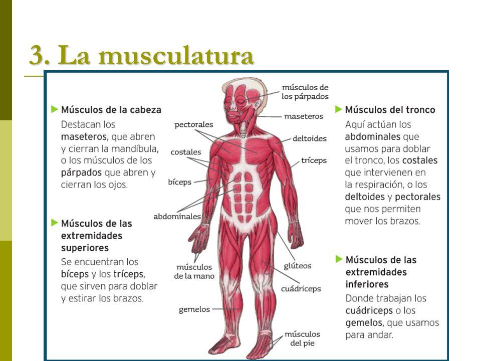 3. La musculatura