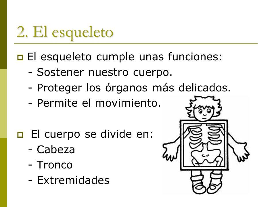 2. El esqueleto El esqueleto cumple unas funciones: - Sostener nuestro cuerpo. - Proteger los órganos más delicados. - Permite el movimiento. El cuerp