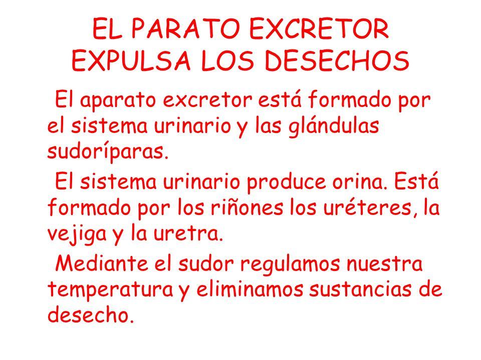 EL PARATO EXCRETOR EXPULSA LOS DESECHOS El aparato excretor está formado por el sistema urinario y las glándulas sudoríparas.