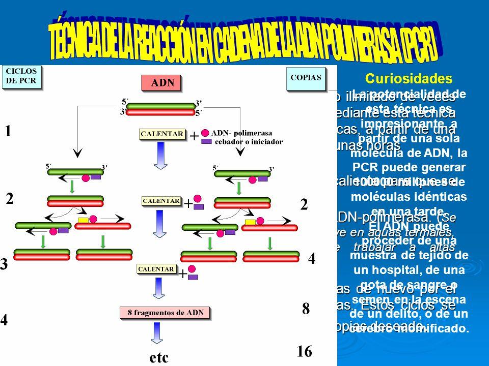Es una técnica que permite duplicar un número ilimitado de veces un fragmento de ADN en un tubo de ensayo. Mediante esta técnica pueden generarse mill