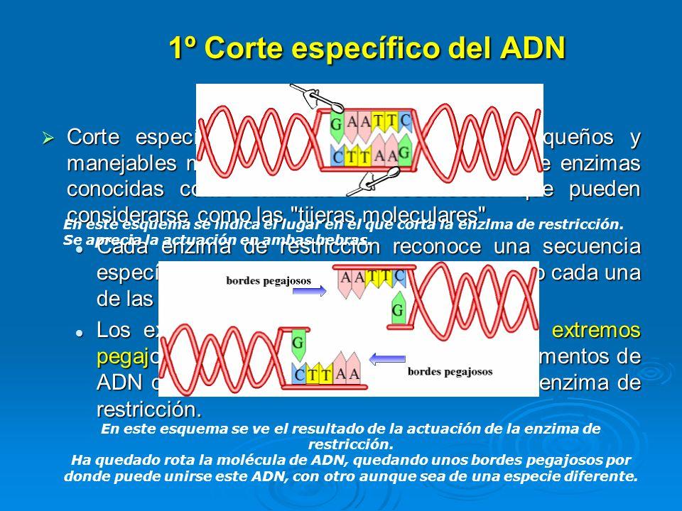 1º Corte específico del ADN Corte específico del ADN en fragmentos pequeños y manejables mediante la utilización de un tipo de enzimas conocidas como