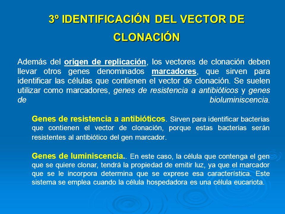 Además del origen de replicación, los vectores de clonación deben llevar otros genes denominados marcadores, que sirven para identificar las células q