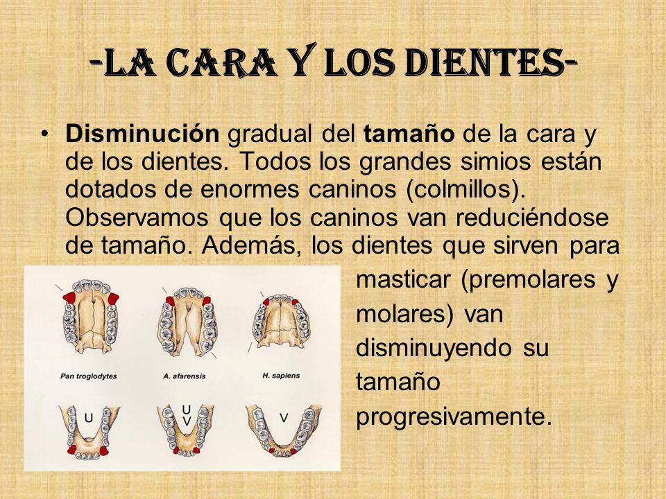 -La cara y los dientes- Disminución gradual del tamaño de la cara y de los dientes. Todos los grandes simios están dotados de enormes caninos (colmill