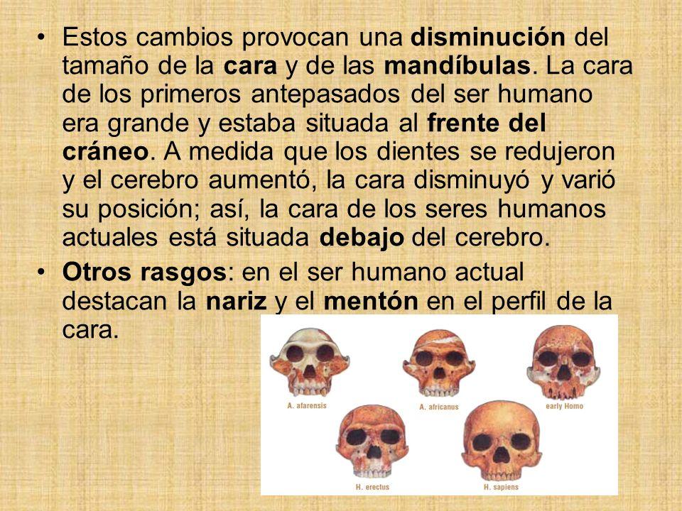 Estos cambios provocan una disminución del tamaño de la cara y de las mandíbulas. La cara de los primeros antepasados del ser humano era grande y esta