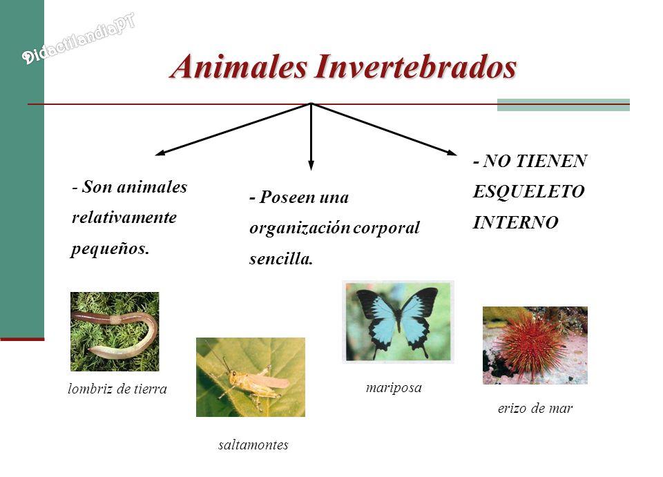 Animales Invertebrados - Son animales relativamente pequeños. - NO TIENEN ESQUELETO INTERNO - Poseen una organización corporal sencilla. lombriz de ti