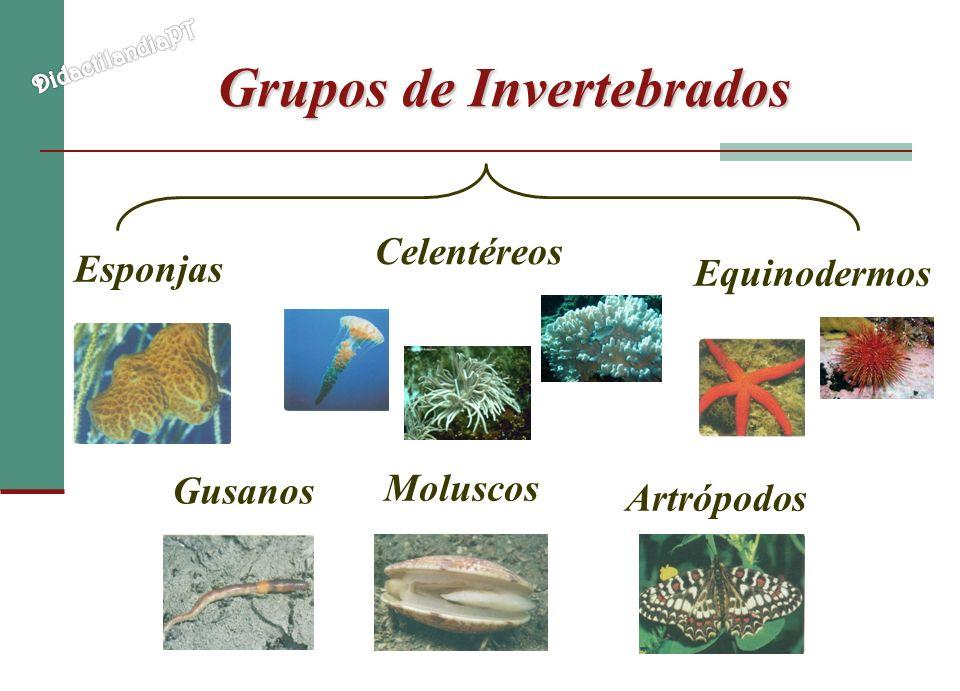 Grupos de Invertebrados Esponjas Celentéreos Gusanos Equinodermos Moluscos Artrópodos
