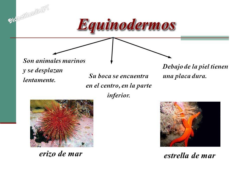 EquinodermosEquinodermos Son animales marinos y se desplazan lentamente. Debajo de la piel tienen una placa dura. erizo de mar estrella de mar Su boca