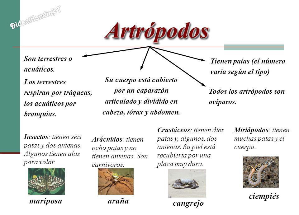 ArtrópodosArtrópodos Son terrestres o acuáticos. Los terrestres respiran por tráqueas, los acuáticos por branquias. Tienen patas (el número varía segú