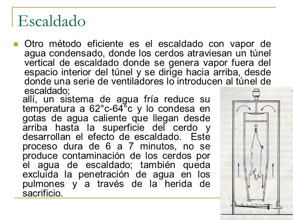 Otro método eficiente es el escaldado con vapor de agua condensado, donde los cerdos atraviesan un túnel vertical de escaldado donde se genera vapor f
