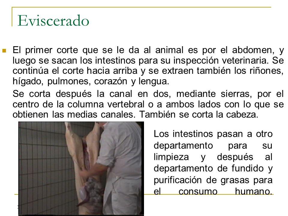 Eviscerado El primer corte que se le da al animal es por el abdomen, y luego se sacan los intestinos para su inspección veterinaria. Se continúa el co