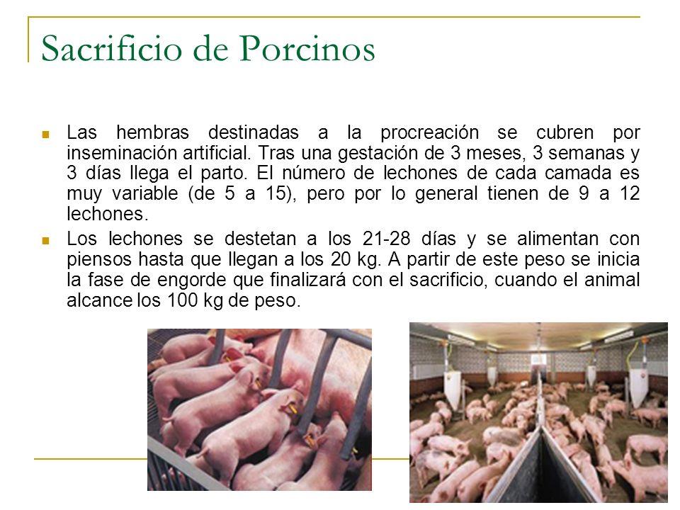 Las hembras destinadas a la procreación se cubren por inseminación artificial. Tras una gestación de 3 meses, 3 semanas y 3 días llega el parto. El nú
