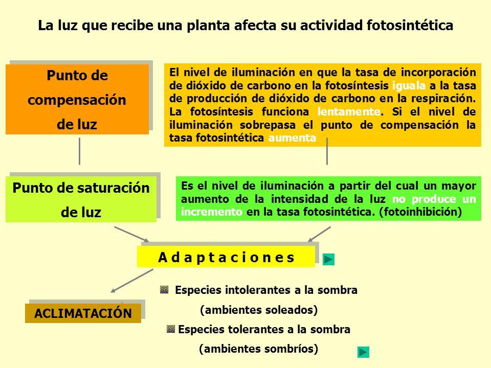 La luz que recibe una planta afecta su actividad fotosintética El nivel de iluminación en que la tasa de incorporación de dióxido de carbono en la fot