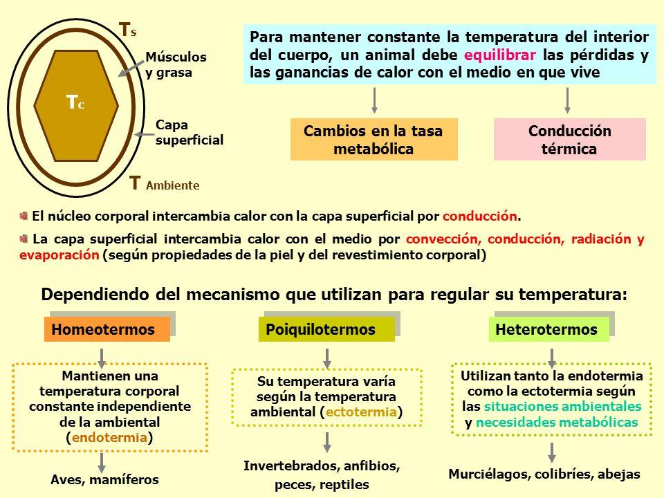 Para mantener constante la temperatura del interior del cuerpo, un animal debe equilibrar las pérdidas y las ganancias de calor con el medio en que vi