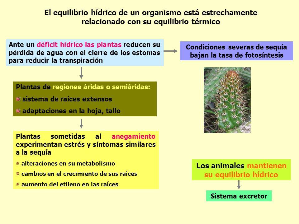 El equilibrio hídrico de un organismo está estrechamente relacionado con su equilibrio térmico Ante un déficit hídrico las plantas reducen su pérdida
