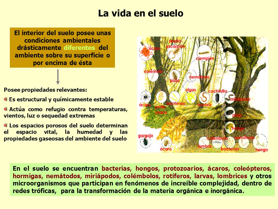 La vida en el suelo El interior del suelo posee unas condiciones ambientales drásticamente diferentes del ambiente sobre su superficie o por encima de