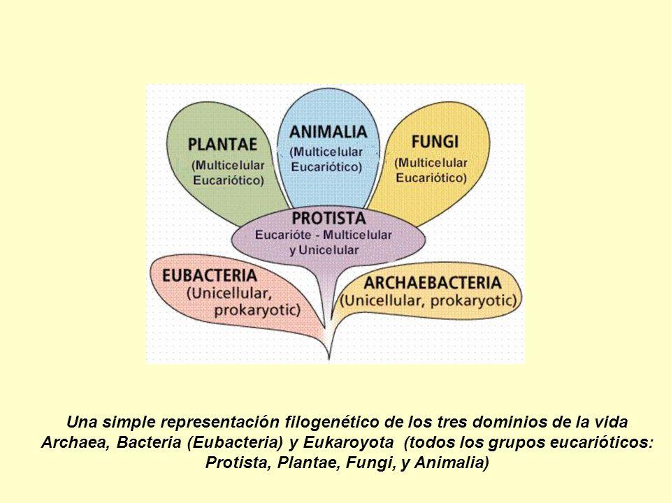 Una simple representación filogenético de los tres dominios de la vida Archaea, Bacteria (Eubacteria) y Eukaroyota (todos los grupos eucarióticos: Pro