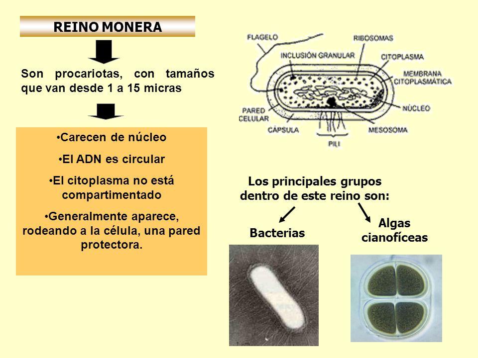 REINO MONERA Carecen de núcleo El ADN es circular El citoplasma no está compartimentado Generalmente aparece, rodeando a la célula, una pared protecto