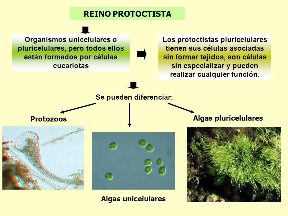 REINO PROTOCTISTA Los protoctistas pluricelulares tienen sus células asociadas sin formar tejidos, son células sin especializar y pueden realizar cual