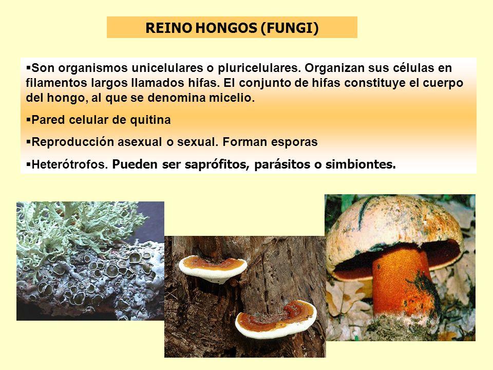 REINO HONGOS (FUNGI) Son organismos unicelulares o pluricelulares. Organizan sus células en filamentos largos llamados hifas. El conjunto de hifas con