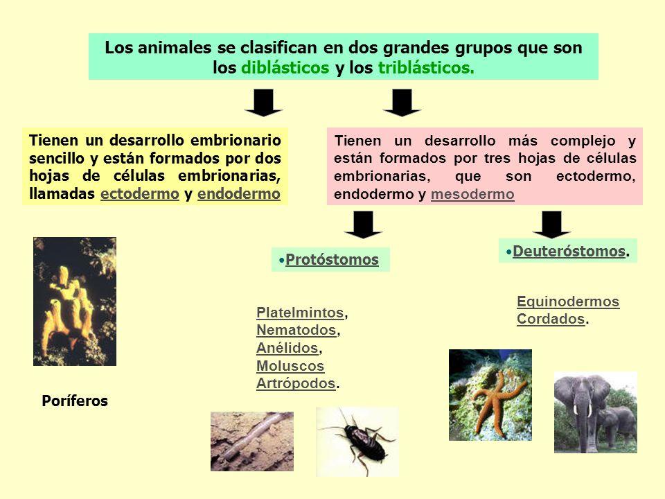 Los animales se clasifican en dos grandes grupos que son los diblásticos y los triblásticos. Tienen un desarrollo embrionario sencillo y están formado